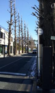 成城の銀杏並木